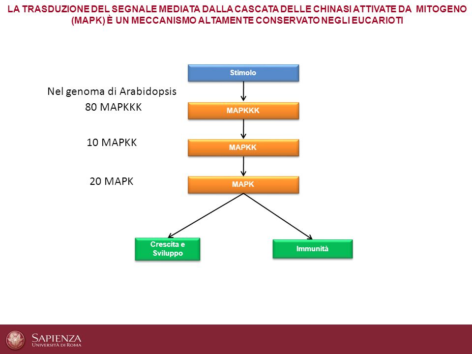 Nel genoma di Arabidopsis 80 MAPKKK