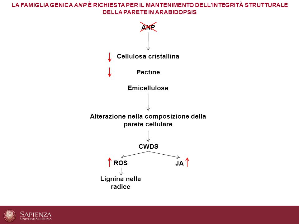 Cellulosa cristallina Pectine Emicellulose