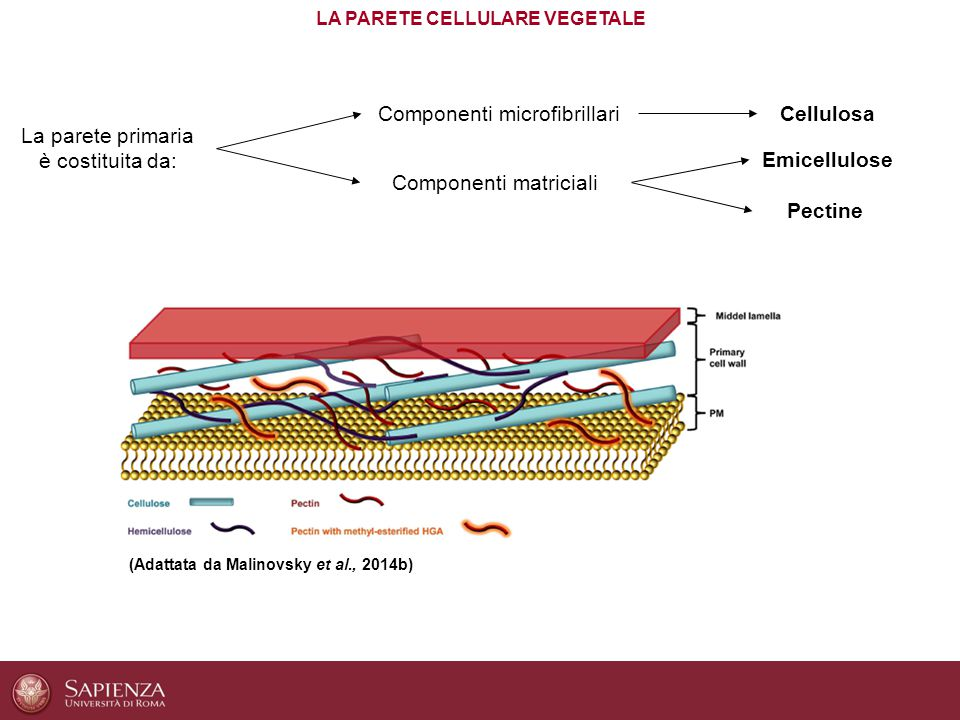 LA PARETE CELLULARE VEGETALE
