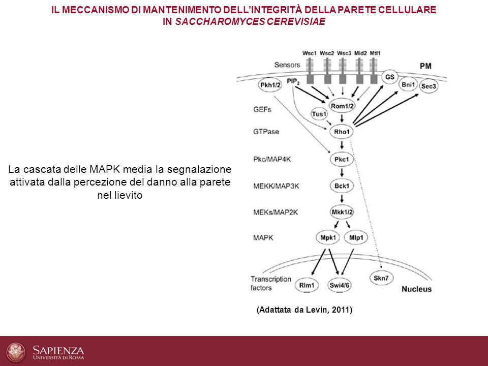 IL MECCANISMO DI MANTENIMENTO DELL'INTEGRITÀ DELLA PARETE CELLULARE IN SACCHAROMYCES CEREVISIAE