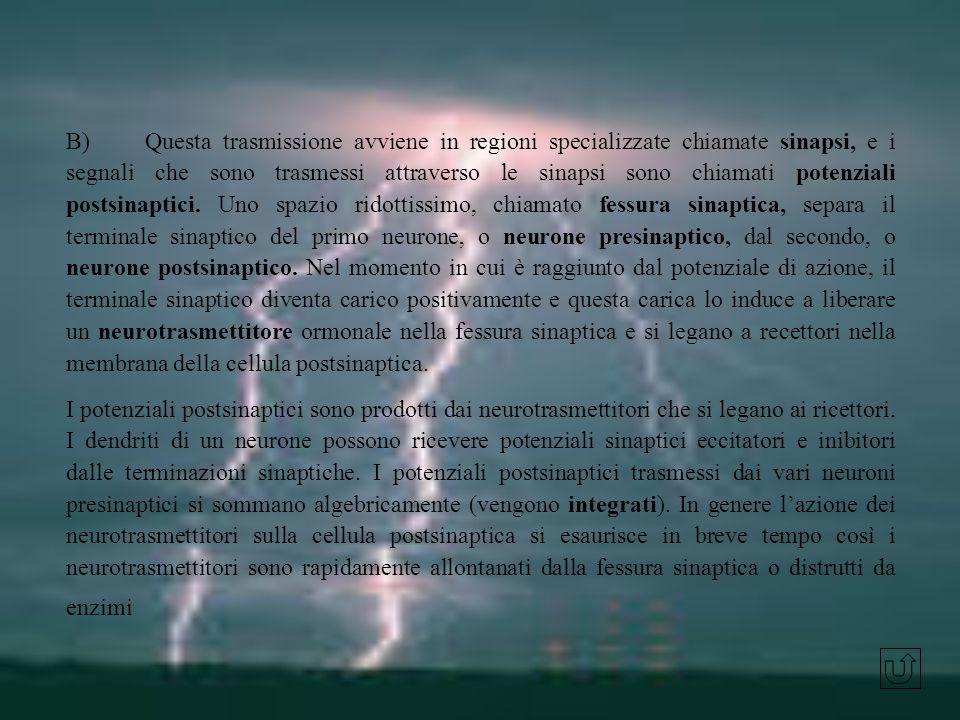 B) Questa trasmissione avviene in regioni specializzate chiamate sinapsi, e i segnali che sono trasmessi attraverso le sinapsi sono chiamati potenziali postsinaptici. Uno spazio ridottissimo, chiamato fessura sinaptica, separa il terminale sinaptico del primo neurone, o neurone presinaptico, dal secondo, o neurone postsinaptico. Nel momento in cui è raggiunto dal potenziale di azione, il terminale sinaptico diventa carico positivamente e questa carica lo induce a liberare un neurotrasmettitore ormonale nella fessura sinaptica e si legano a recettori nella membrana della cellula postsinaptica.