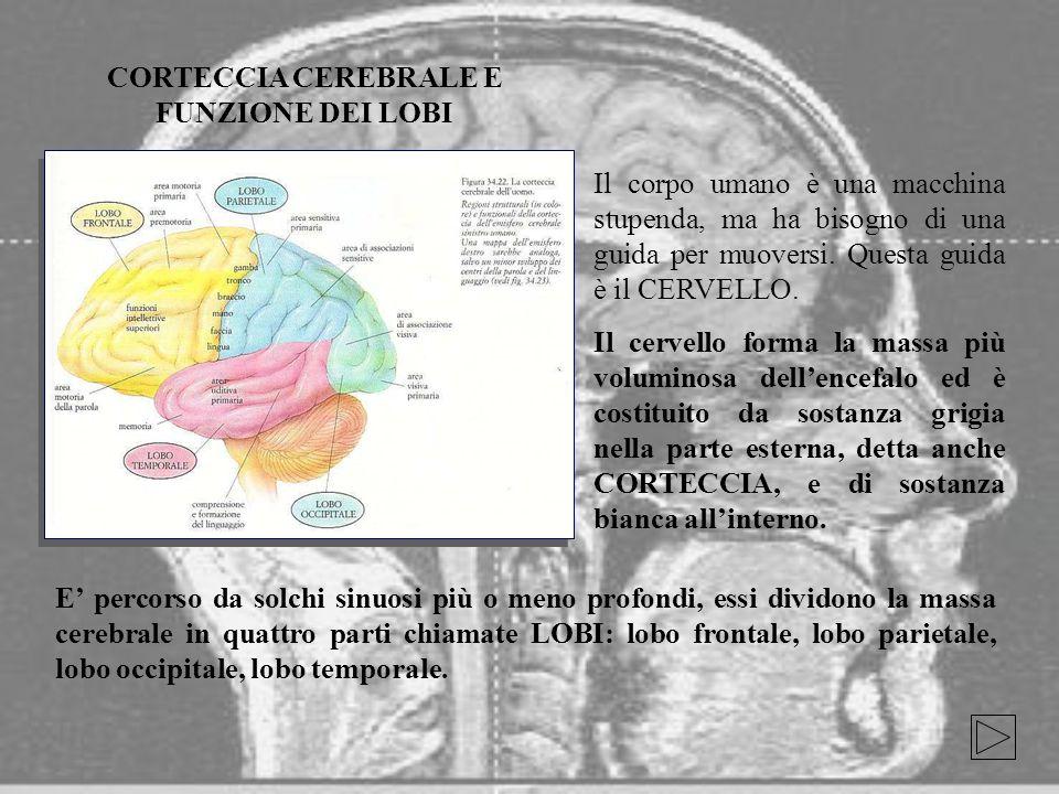 CORTECCIA CEREBRALE E FUNZIONE DEI LOBI
