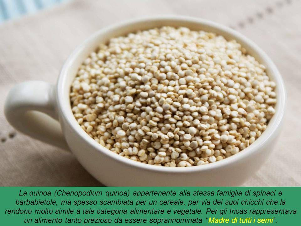 La quinoa (Chenopodium quinoa) appartenente alla stessa famiglia di spinaci e barbabietole, ma spesso scambiata per un cereale, per via dei suoi chicchi che la rendono molto simile a tale categoria alimentare e vegetale.