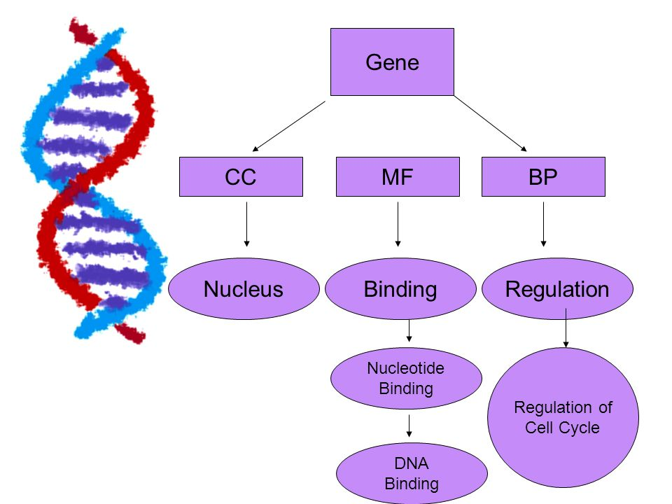 Gene CC MF BP Nucleus Binding Regulation Nucleotide Binding