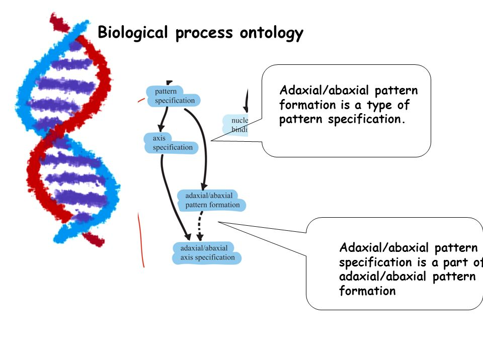 Biological process ontology