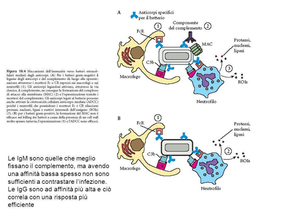 Le IgM sono quelle che meglio fissano il complemento, ma avendo una affinità bassa spesso non sono sufficienti a contrastare l'infezione.