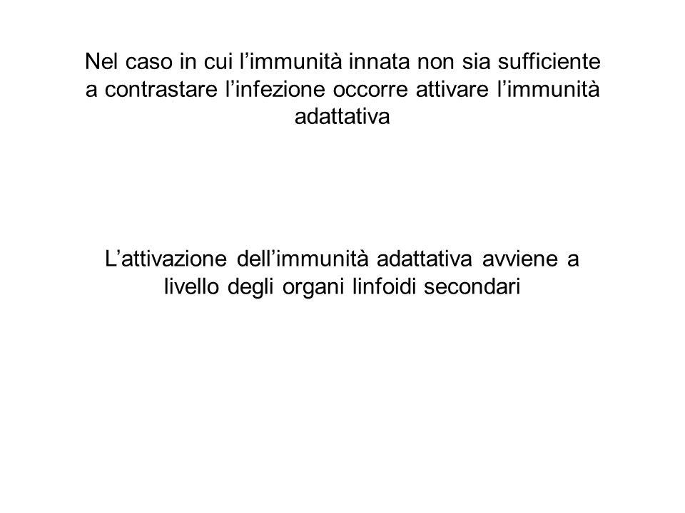 Nel caso in cui l'immunità innata non sia sufficiente a contrastare l'infezione occorre attivare l'immunità adattativa