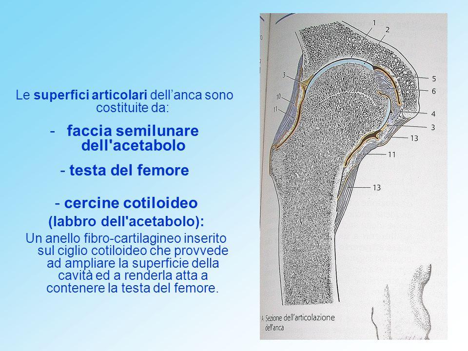 faccia semilunare dell acetabolo (labbro dell acetabolo):
