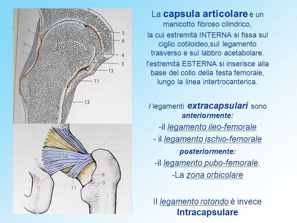 La capsula articolare è un manicotto fibroso cilindrico,