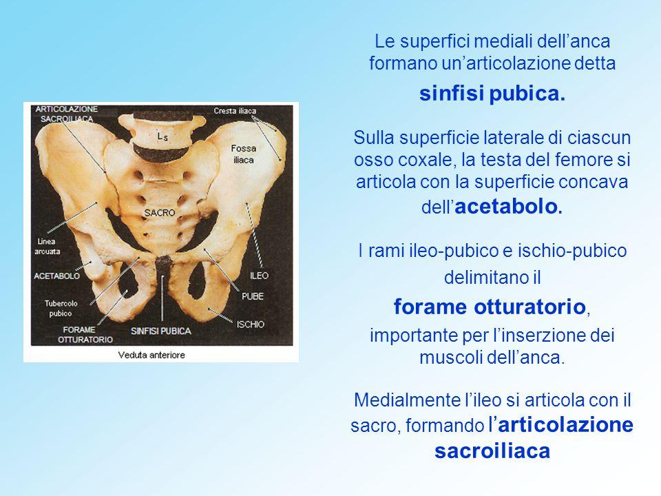 sinfisi pubica. forame otturatorio,