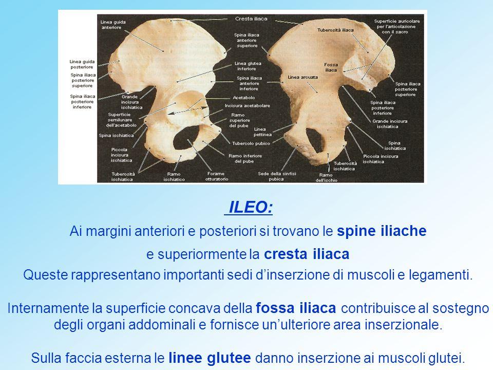 ILEO: Ai margini anteriori e posteriori si trovano le spine iliache