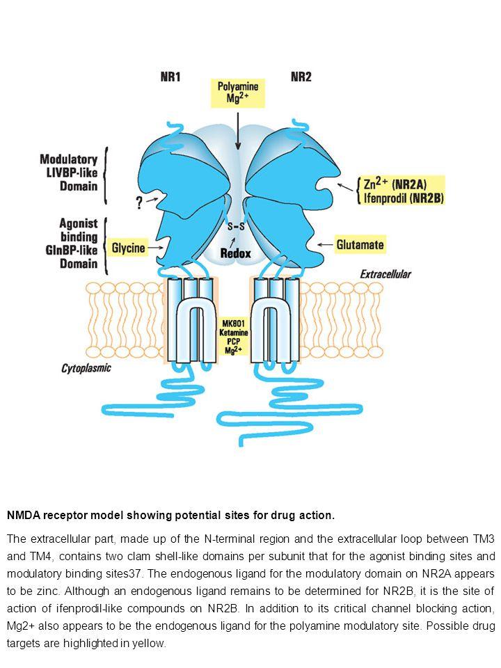 NMDA receptor model showing potential sites for drug action.