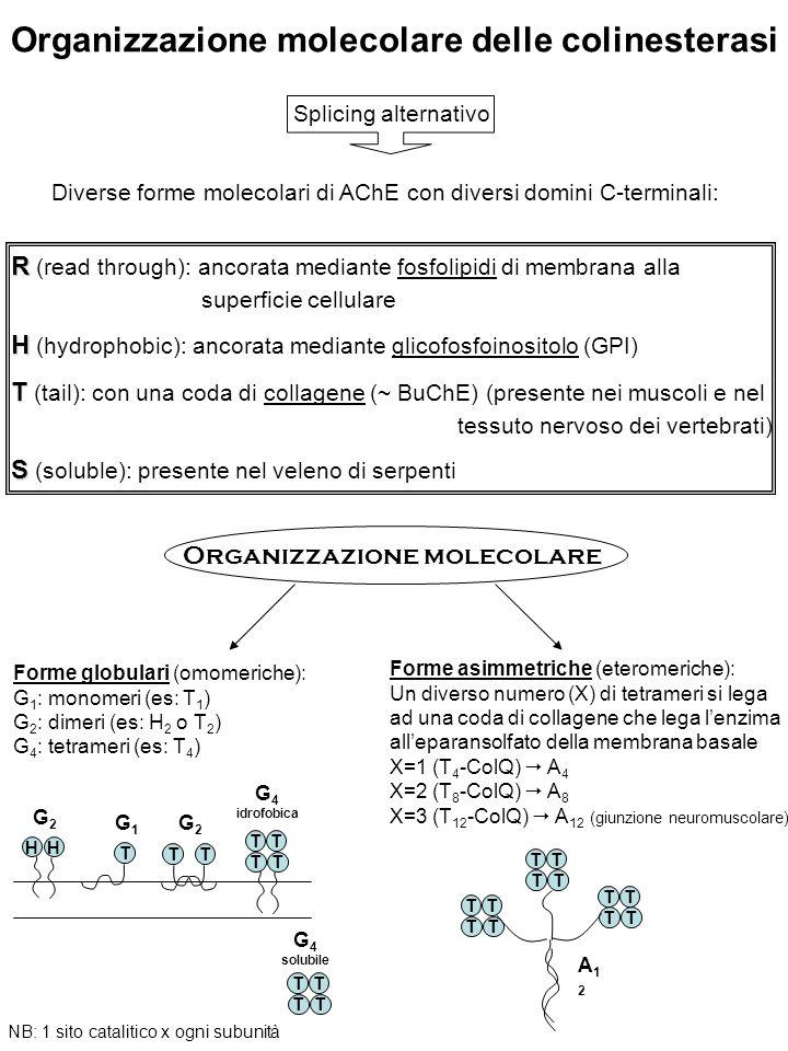 Organizzazione molecolare delle colinesterasi