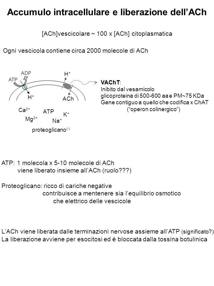 Accumulo intracellulare e liberazione dell'ACh