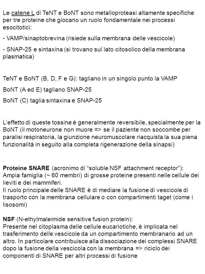 - VAMP/sinaptobrevina (risiede sulla membrana delle vescicole)