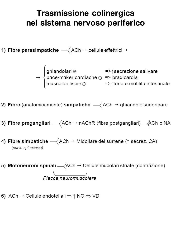 Trasmissione colinergica nel sistema nervoso periferico