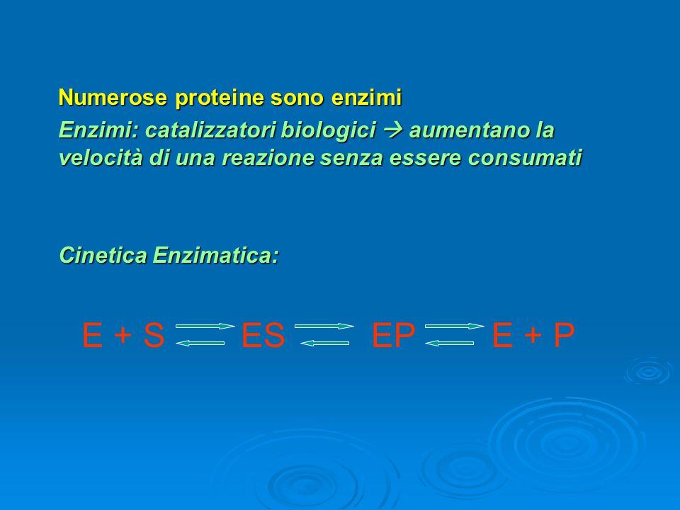 E + S ES EP E + P Numerose proteine sono enzimi