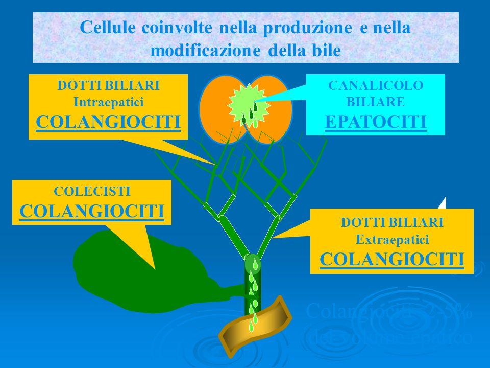 Colangiociti=2-5% del volume epatico
