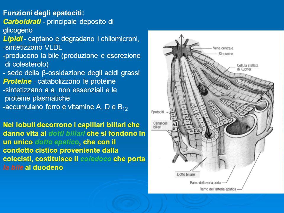 Funzioni degli epatociti: