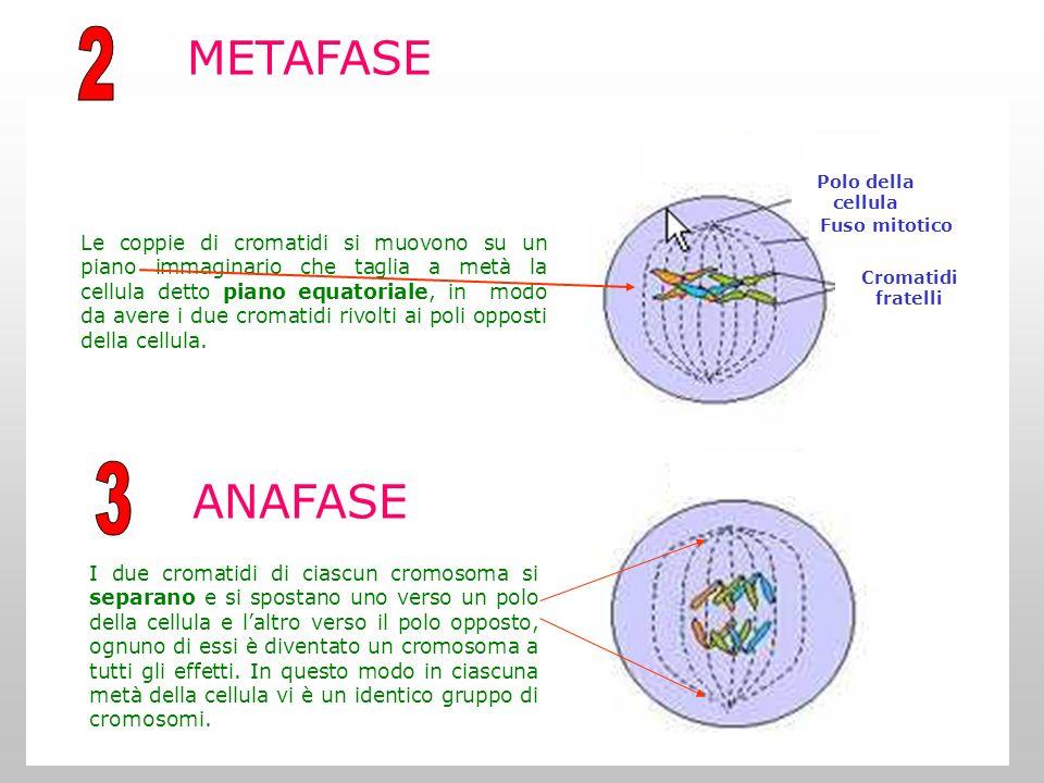 2 METAFASE. Fuso mitotico. Cromatidi fratelli. Polo della cellula.