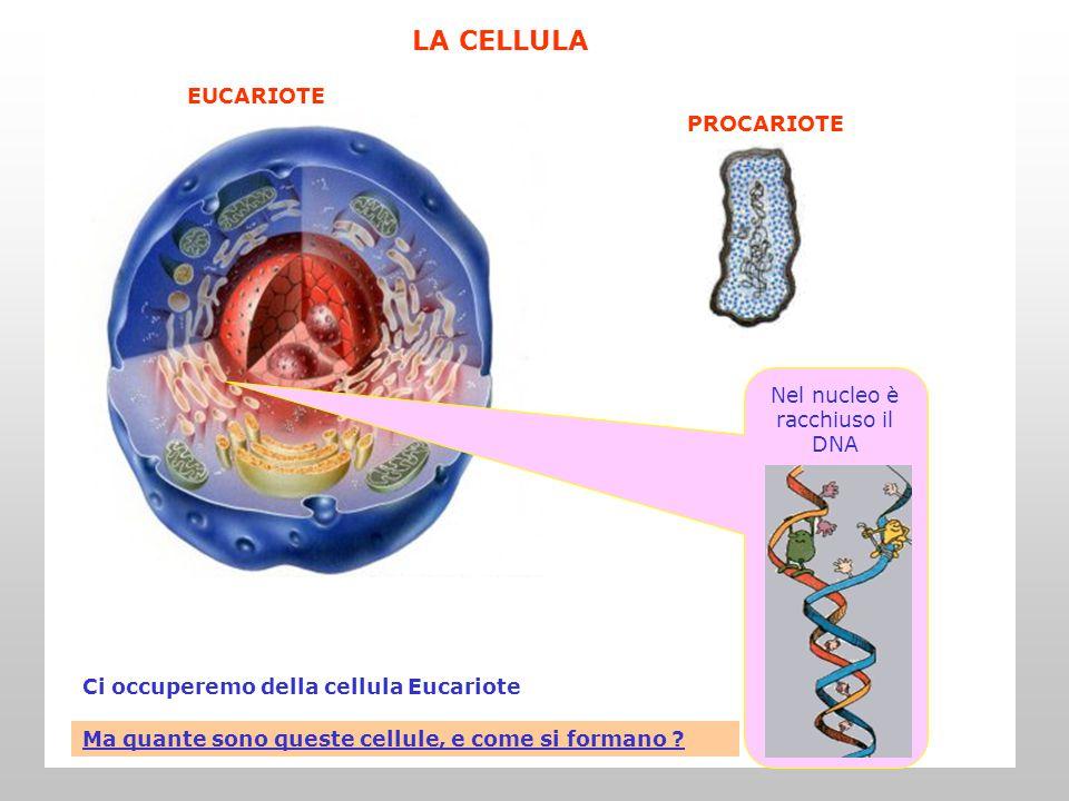 Nel nucleo è racchiuso il DNA