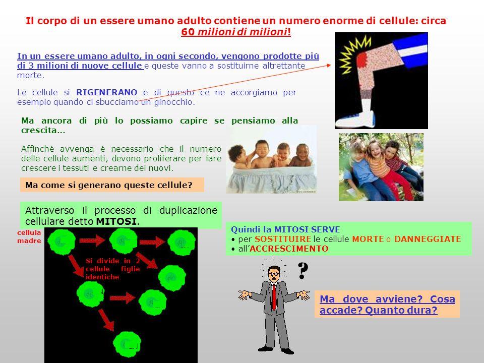 Il corpo di un essere umano adulto contiene un numero enorme di cellule: circa 60 milioni di milioni!