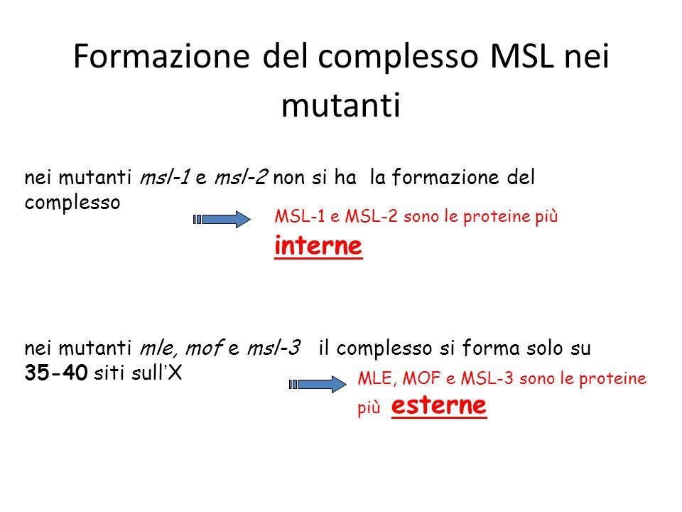 Formazione del complesso MSL nei mutanti