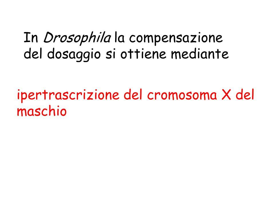 In Drosophila la compensazione del dosaggio si ottiene mediante