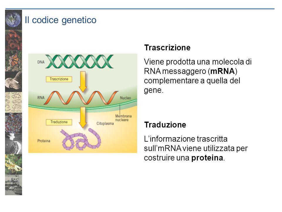 Il codice genetico Trascrizione