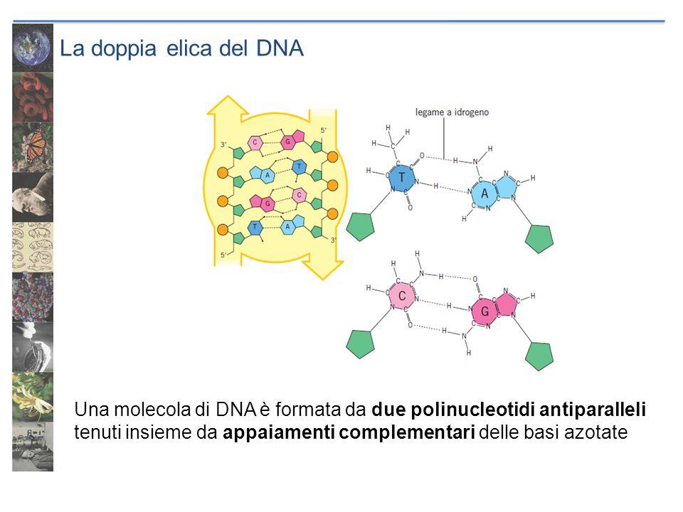 La doppia elica del DNA Una molecola di DNA è formata da due polinucleotidi antiparalleli.