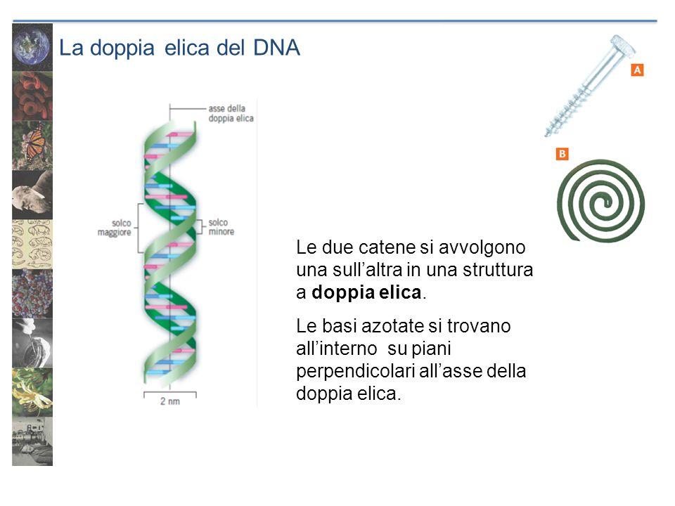 La doppia elica del DNA Le due catene si avvolgono una sull'altra in una struttura a doppia elica.