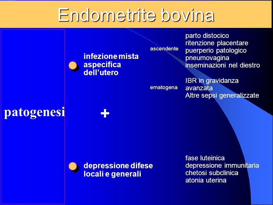 Endometrite bovina + patogenesi infezione mista aspecifica dell'utero