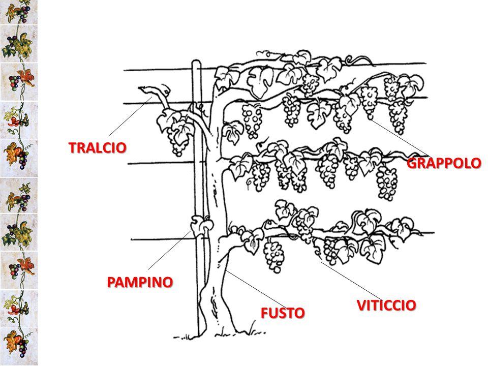 TRALCIO GRAPPOLO PAMPINO VITICCIO FUSTO