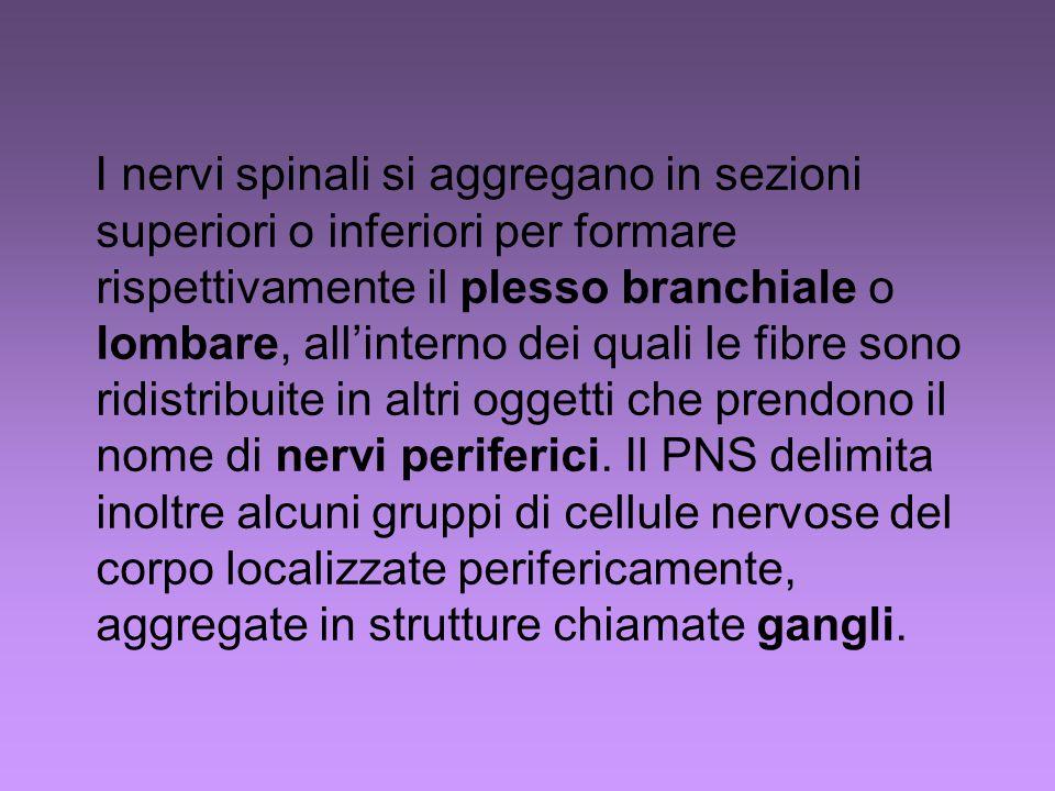 I nervi spinali si aggregano in sezioni superiori o inferiori per formare rispettivamente il plesso branchiale o lombare, all'interno dei quali le fibre sono ridistribuite in altri oggetti che prendono il nome di nervi periferici.