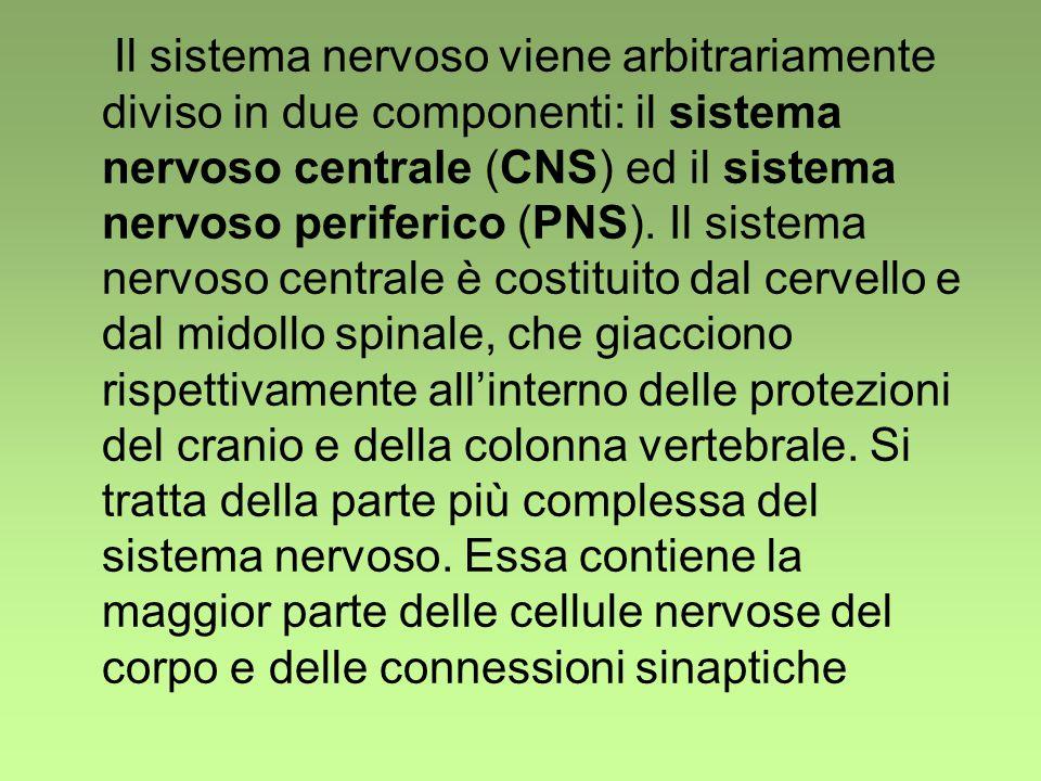 Il sistema nervoso viene arbitrariamente diviso in due componenti: il sistema nervoso centrale (CNS) ed il sistema nervoso periferico (PNS).