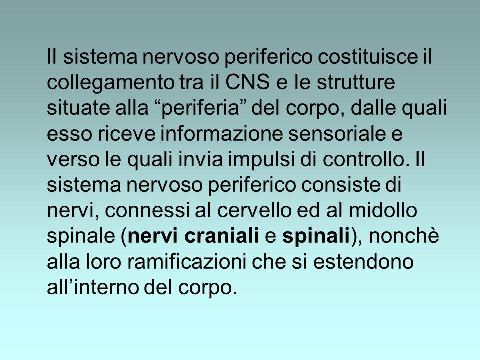 Il sistema nervoso periferico costituisce il collegamento tra il CNS e le strutture situate alla periferia del corpo, dalle quali esso riceve informazione sensoriale e verso le quali invia impulsi di controllo.