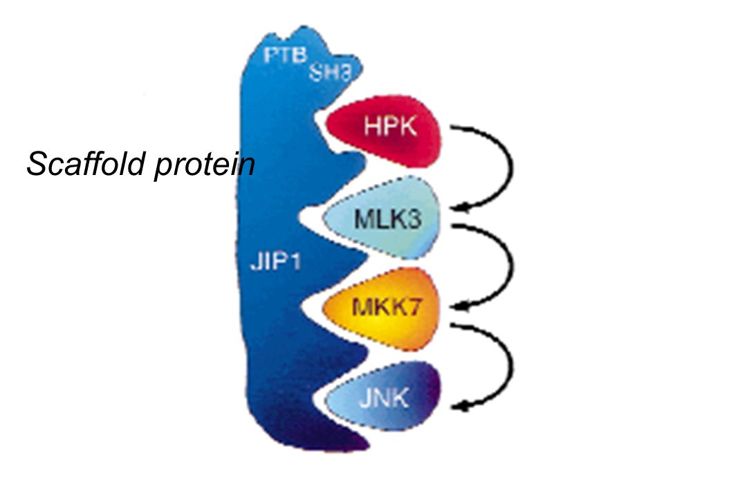Scaffold protein