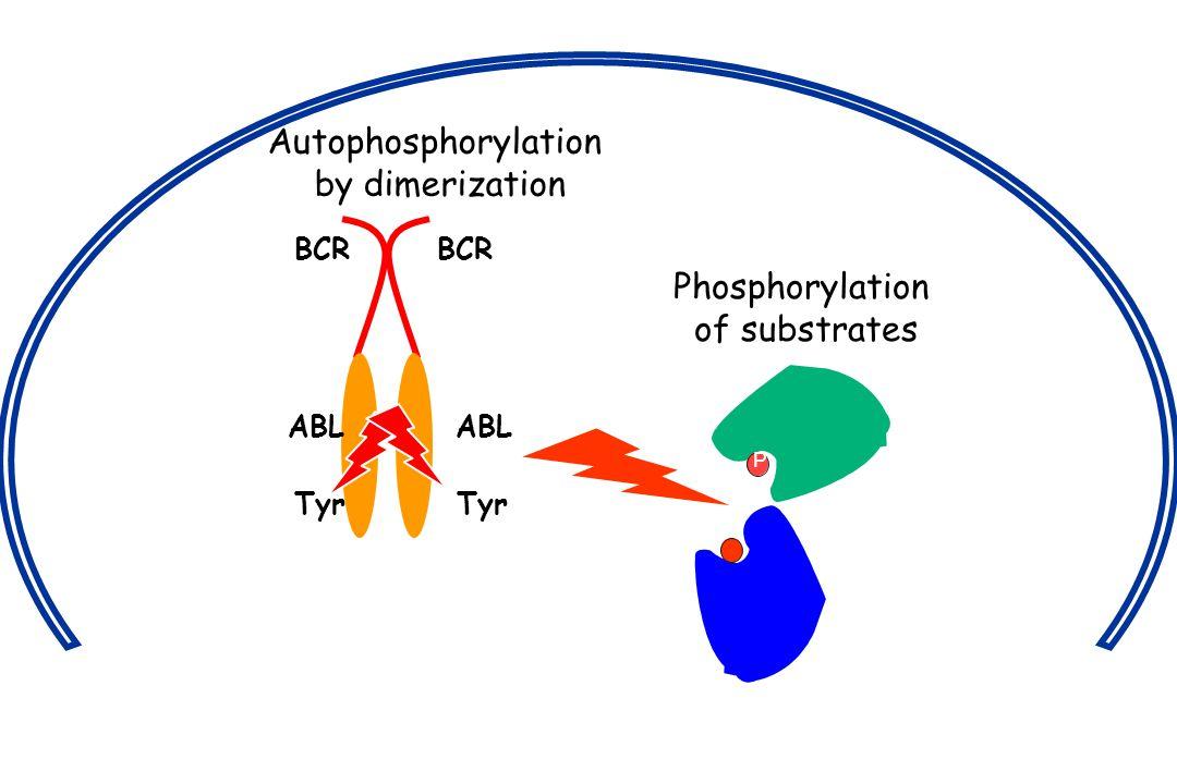 Autophosphorylation by dimerization Phosphorylation of substrates