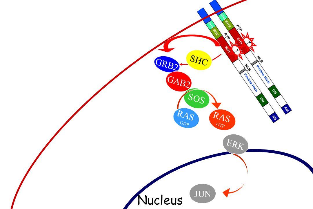 GRB2 GAB2 SOS RAS GDP SHC GTP ERK JUN Nucleus