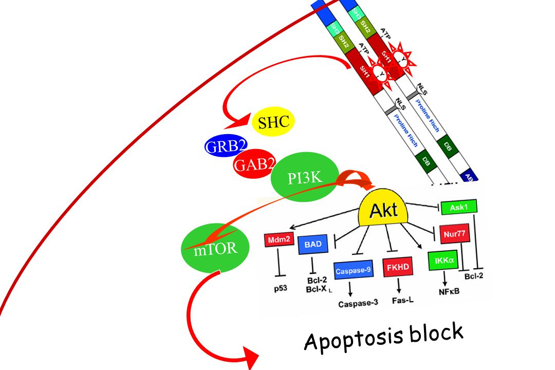 SHC GRB2 GAB2 PI3K mTOR Apoptosis block