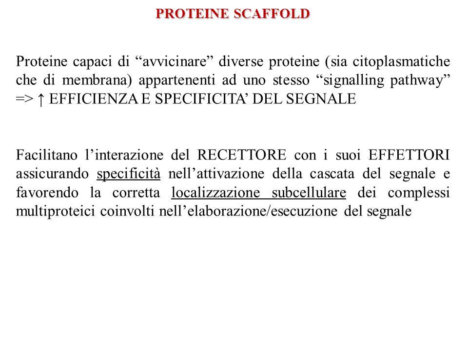 PROTEINE SCAFFOLD