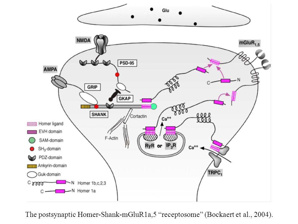 The postsynaptic Homer-Shank-mGluR1a,5 receptosome (Bockaert et al