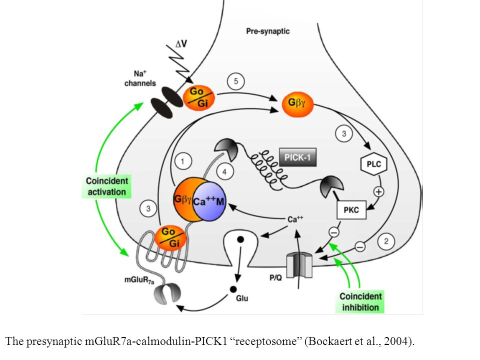 The presynaptic mGluR7a-calmodulin-PICK1 receptosome (Bockaert et al