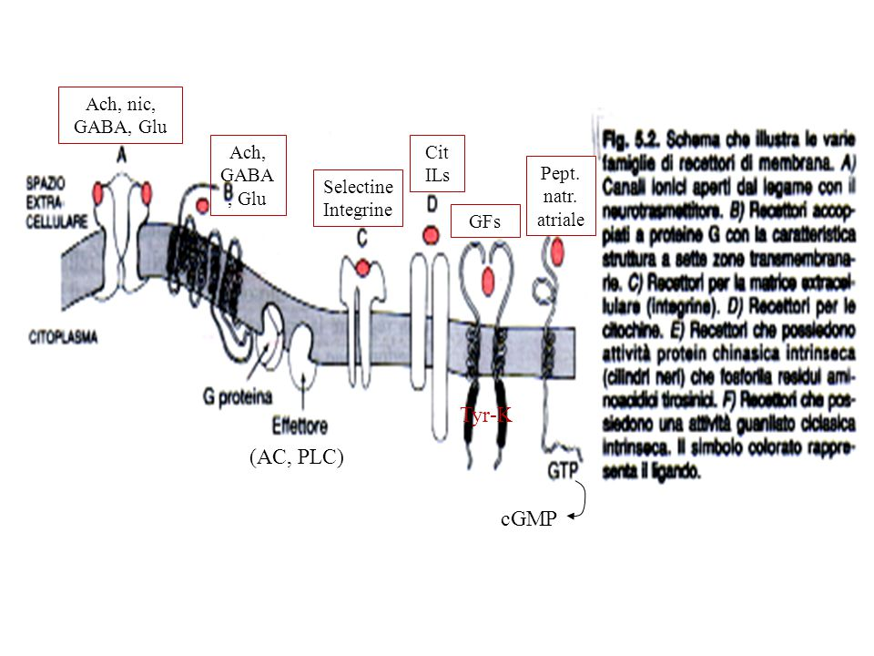 Tyr-K (AC, PLC) cGMP Ach, nic, GABA, Glu Ach, GABA, Glu Cit ILs