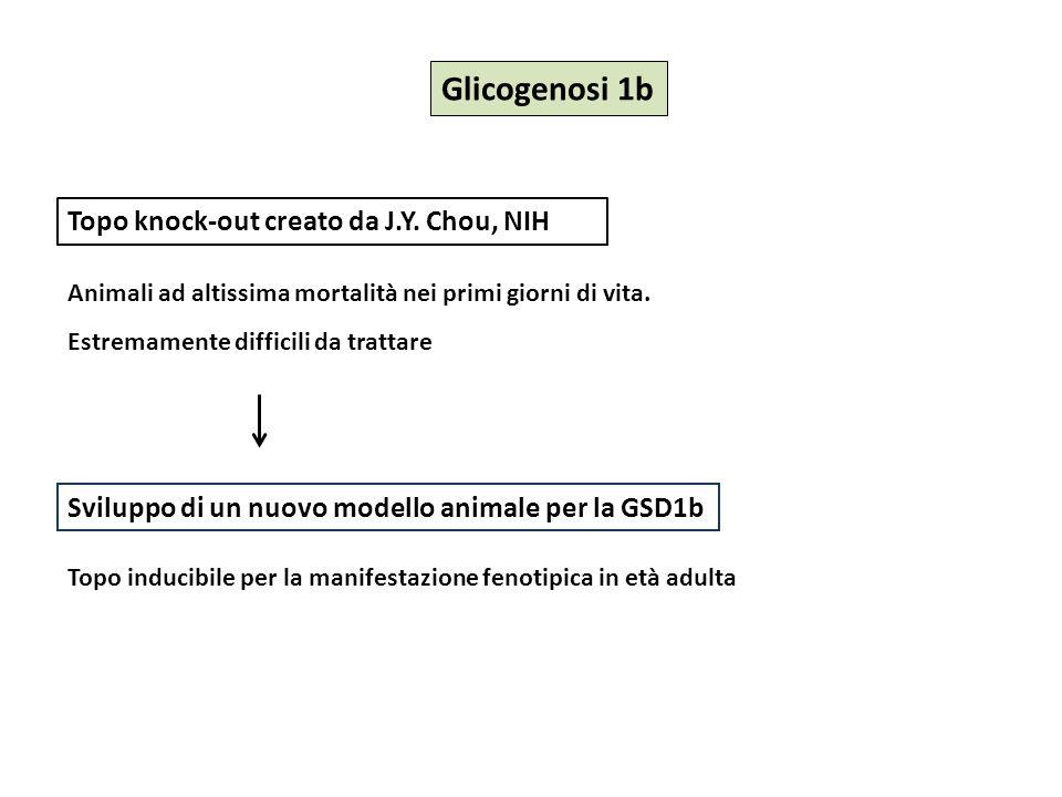 Glicogenosi 1b Topo knock-out creato da J.Y. Chou, NIH