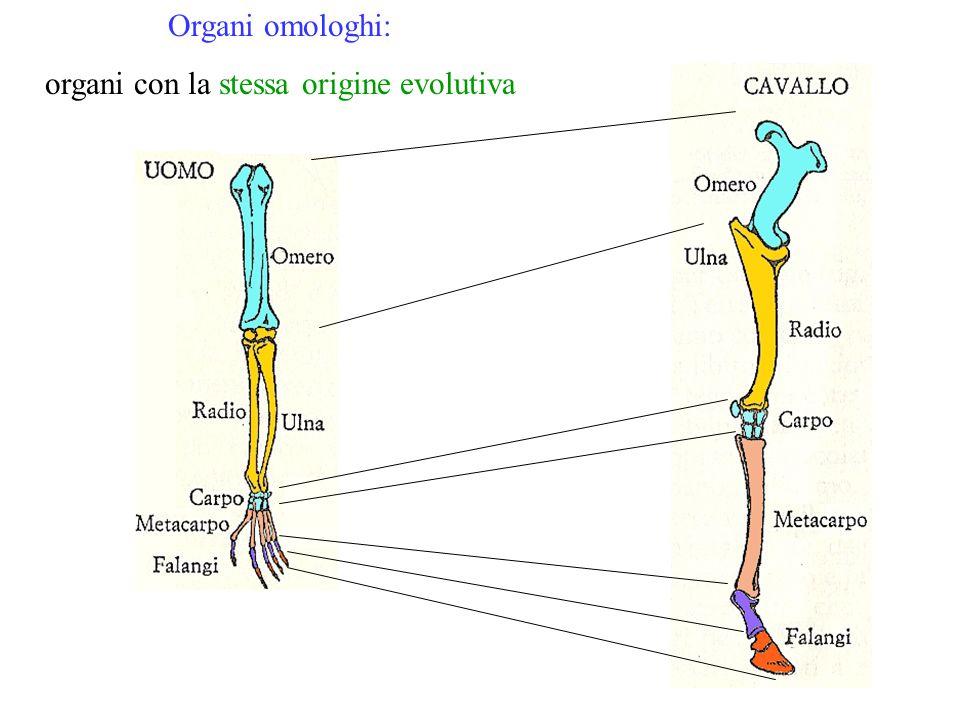 organi con la stessa origine evolutiva