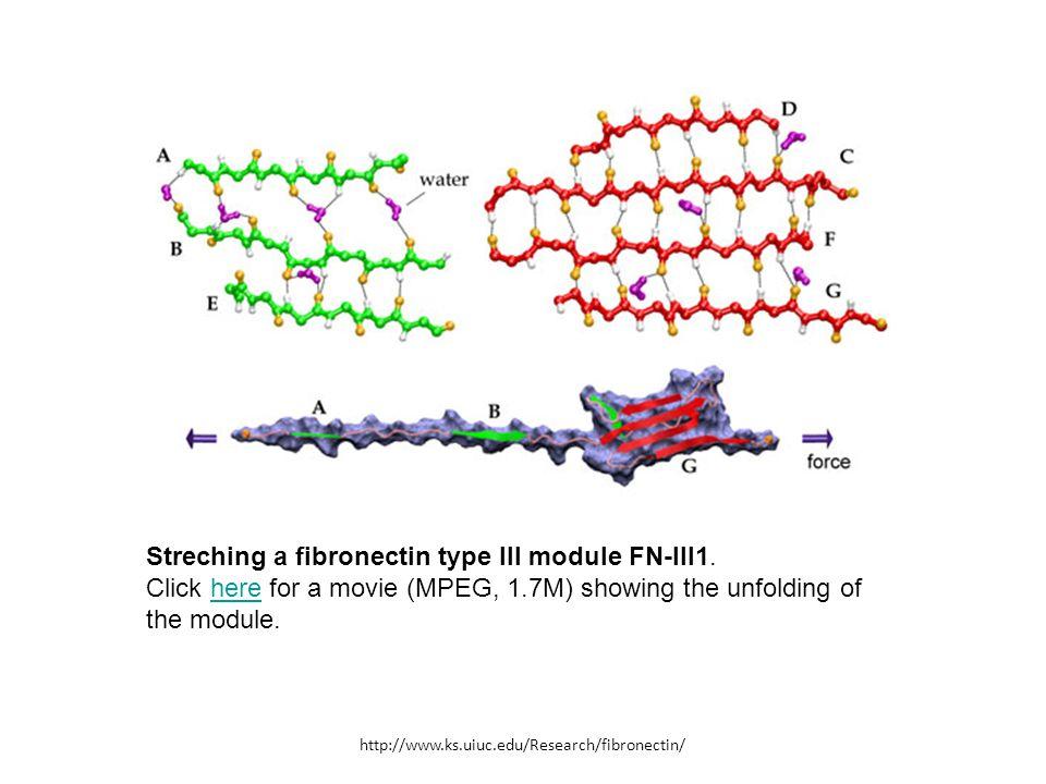Streching a fibronectin type III module FN-III1