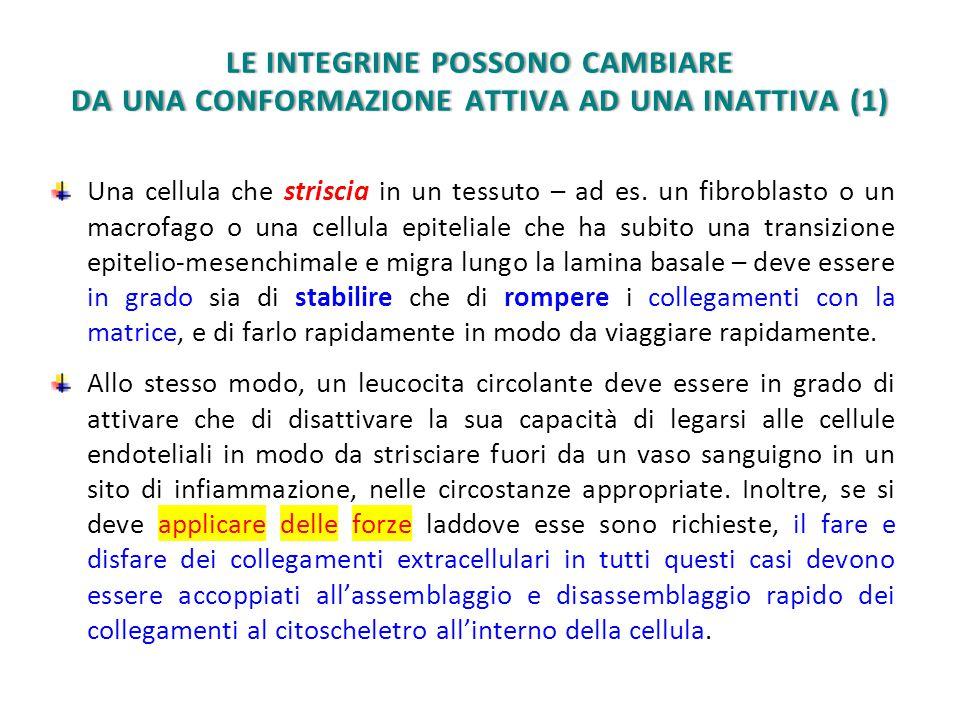 LE INTEGRINE POSSONO CAMBIARE DA UNA CONFORMAZIONE ATTIVA AD UNA INATTIVA (1)