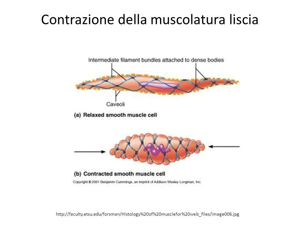 Contrazione della muscolatura liscia