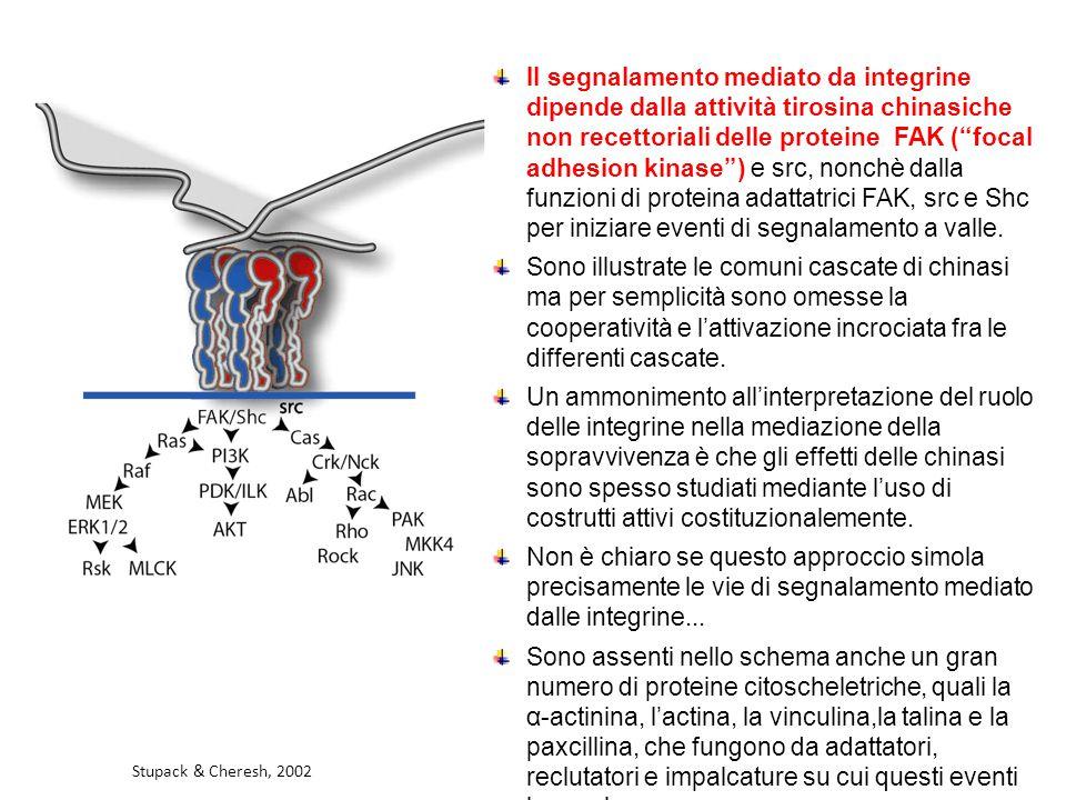 Il segnalamento mediato da integrine dipende dalla attività tirosina chinasiche non recettoriali delle proteine FAK ( focal adhesion kinase ) e src, nonchè dalla funzioni di proteina adattatrici FAK, src e Shc per iniziare eventi di segnalamento a valle.